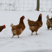 4 Chickens in the snow