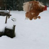 Flying Chicken 2